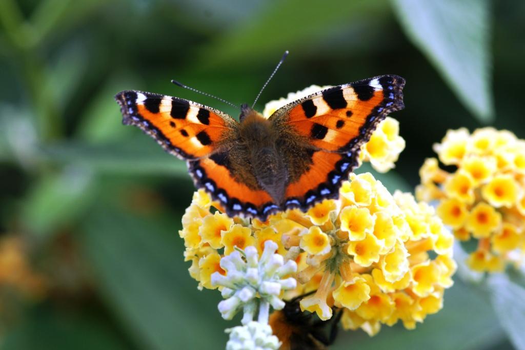 hans dornseiffen natuurfoto's vlinder